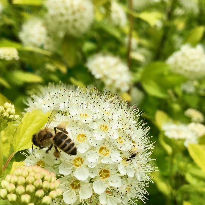De gevleugelde bij vliegt langzaam aan de installatie, verzamelt nectar voor honing op priv? bijenstal van bloem royalty-vrije stock foto