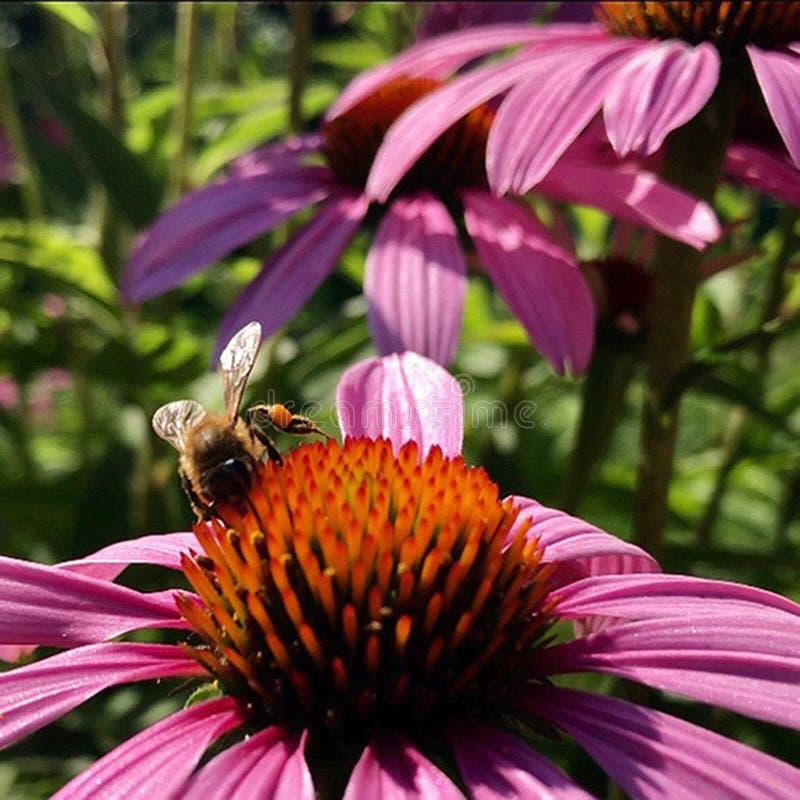 De gevleugelde bij vliegt langzaam aan de installatie, verzamelt nectar voor honing op priv? bijenstal van bloem stock afbeelding