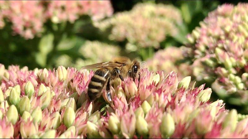 De gevleugelde bij vliegt langzaam aan de installatie, verzamelt nectar voor honing op priv? bijenstal van bloem royalty-vrije stock afbeeldingen