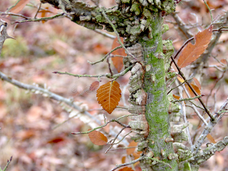 De gevleugelde boomstam van de Iepboom en takken en bladeren stock fotografie