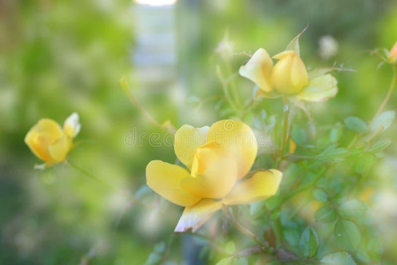 De gevoelige gele rozen van Bush met een gloed stock foto's