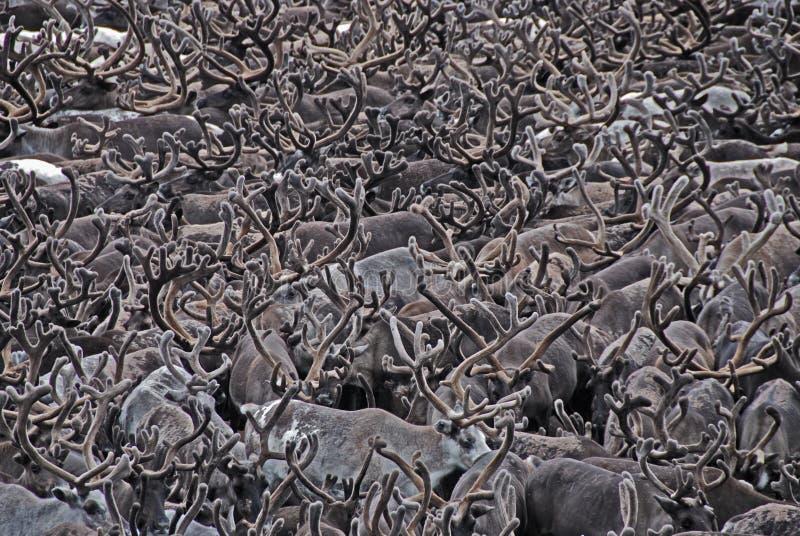 De geweitak van herten stock foto