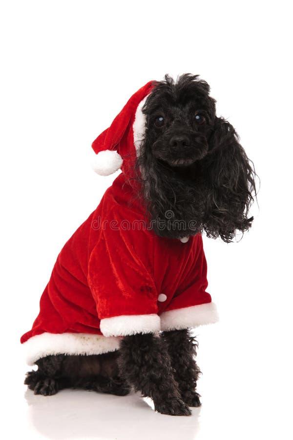 De gezette poedel van de Kerstman stock fotografie