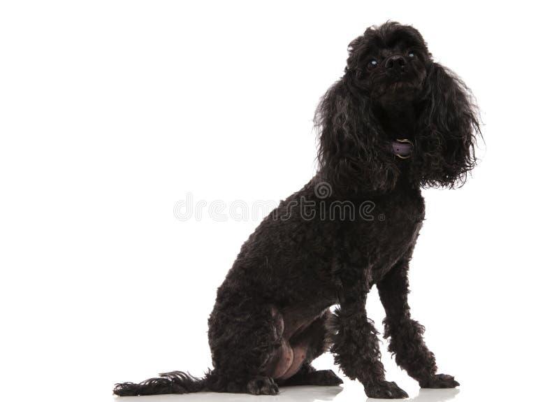 De gezette zwarte poedel ziet omhoog eruit royalty-vrije stock fotografie