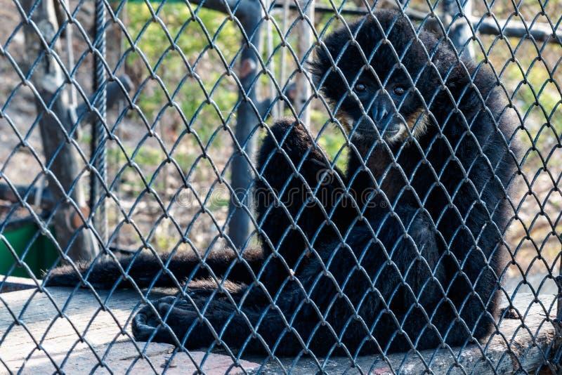 De gibbon stock fotografie