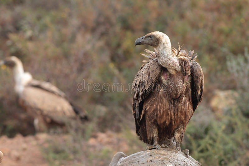 De gier van Griffon royalty-vrije stock foto's