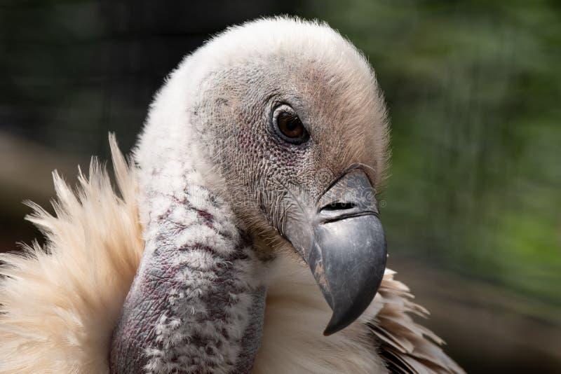 De gier van kaapgriffon, grote die roofvogel inheems aan het gebied, in de Drakensberg-bergen, Cathkin-Piek, Zuiden Afri wordt ge royalty-vrije stock foto