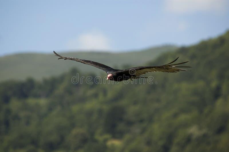 Download De gier van Turkije stock foto. Afbeelding bestaande uit gier - 10776504