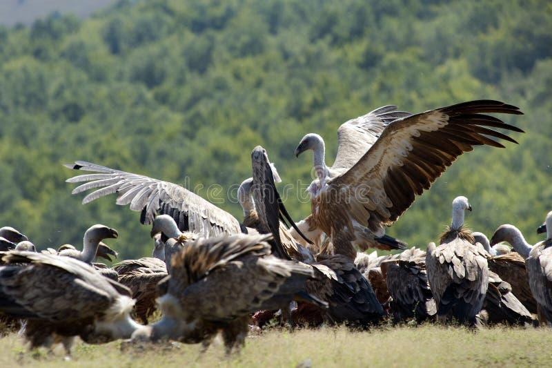 De gieren van Griffon royalty-vrije stock foto's