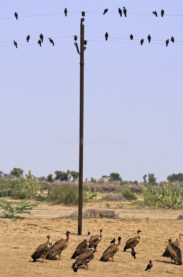 De gieren van Rajasthan royalty-vrije stock afbeeldingen