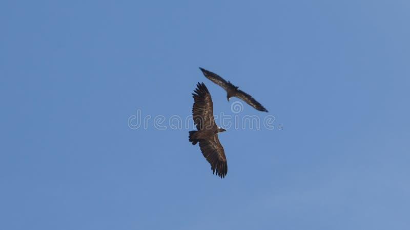 De gieren vliegen cirkels die in blauwe hemel samenkomen stock foto's