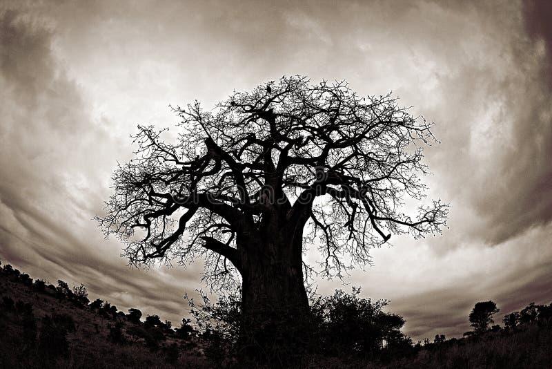 De gieren zitten in een Afrikaanse Baobabboom stock afbeeldingen