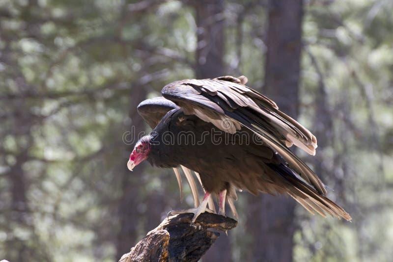 De Giervogel die van Turkije op Boom landen royalty-vrije stock foto