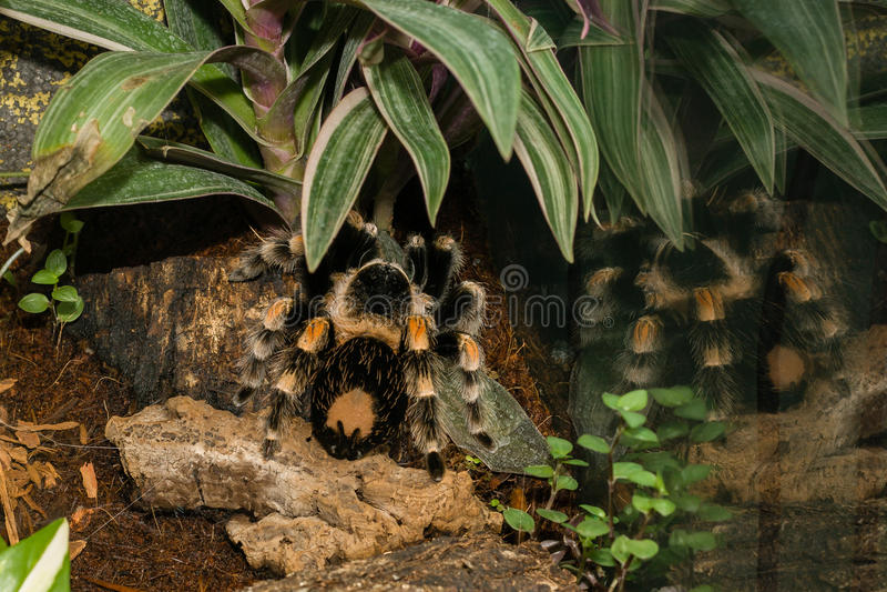 De giftige tarantula van de spintarantula stock foto