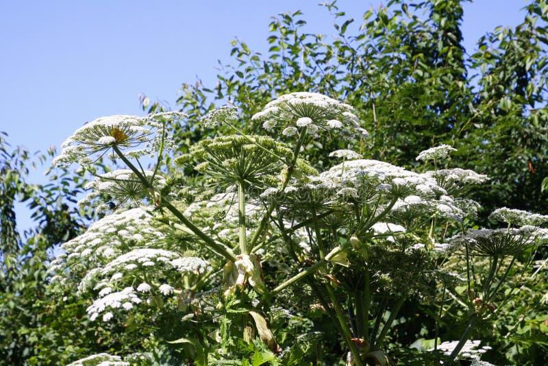 De giftige witte bloesemsreus hogweed Heracleum-mantegazzianumgiganteum tegen blauwe hemel stock afbeelding