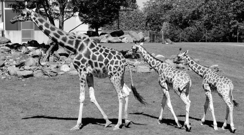 De giraf royalty-vrije stock afbeeldingen