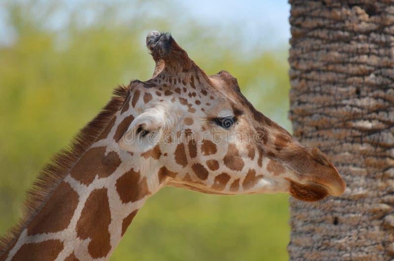 De giraf stock fotografie