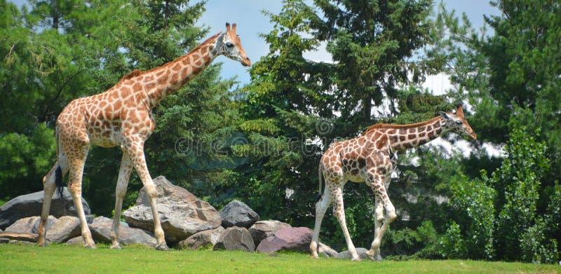 De giraf stock foto