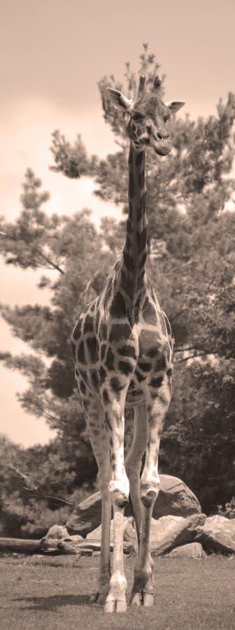 De giraf stock afbeeldingen