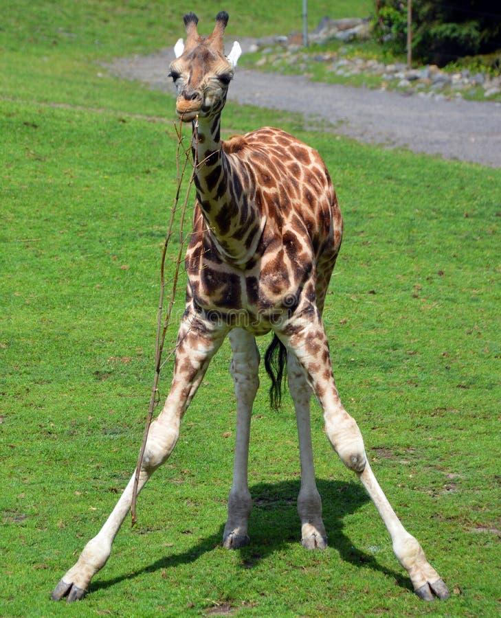 De giraf royalty-vrije stock fotografie