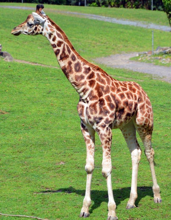 De giraf royalty-vrije stock afbeelding
