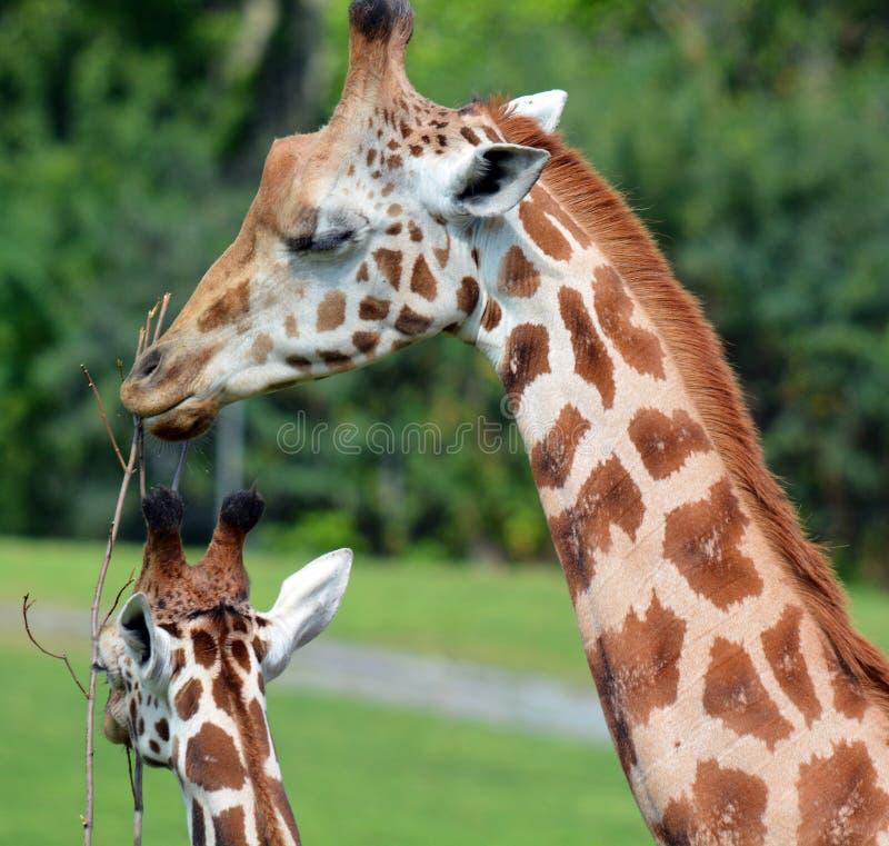 De giraf stock foto's
