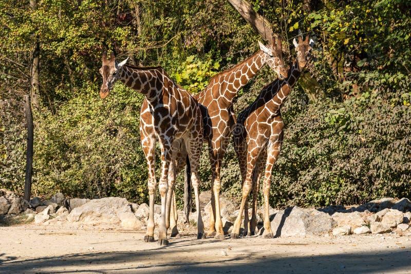 De giraf, Giraffa-camelopardalis is een Afrikaans zoogdier stock foto