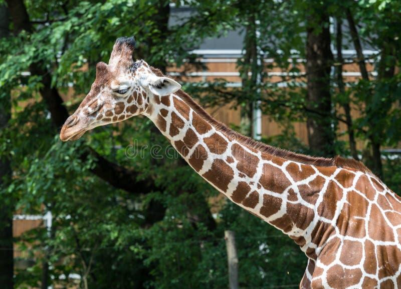 De giraf, Giraffa-camelopardalis is een Afrikaans zoogdier stock foto's