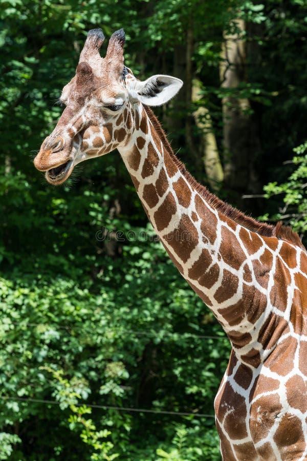 De giraf, Giraffa-camelopardalis is een Afrikaans zoogdier stock afbeeldingen