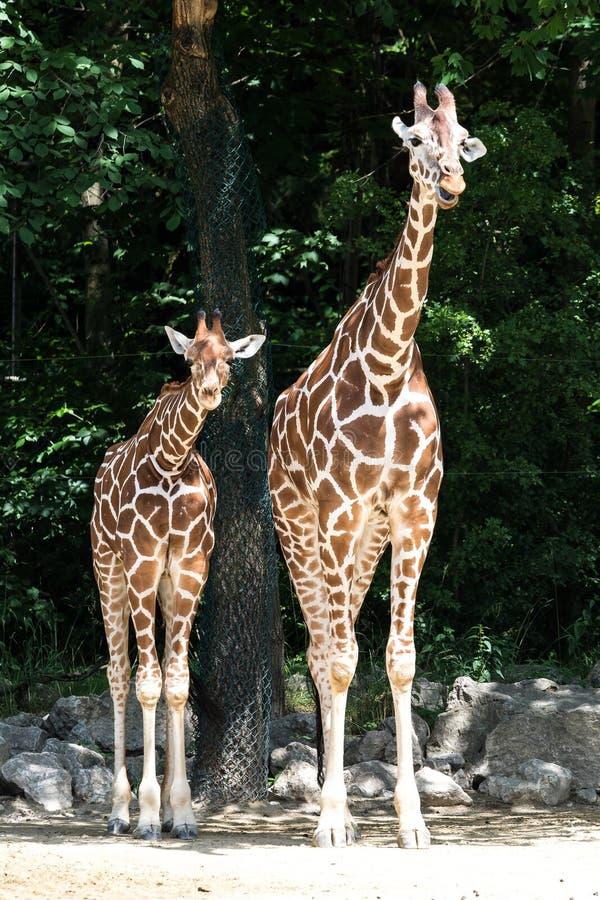 De giraf, Giraffa-camelopardalis is een Afrikaans zoogdier royalty-vrije stock afbeeldingen