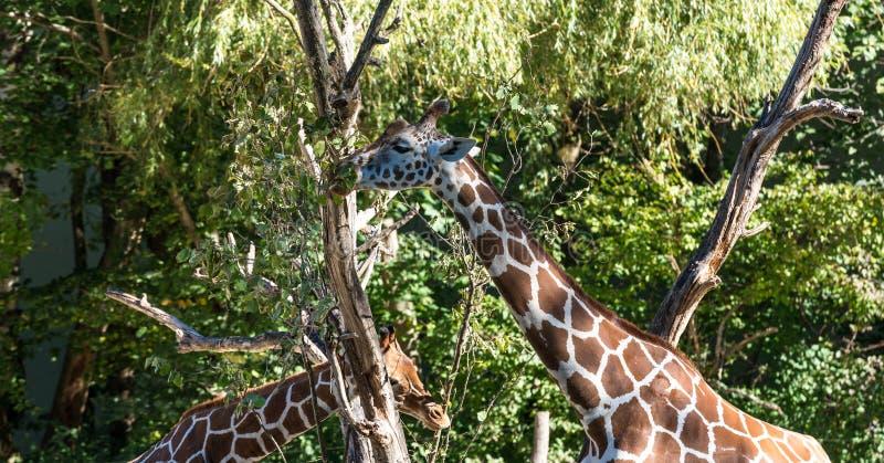 De giraf, Giraffa-camelopardalis is een Afrikaans zoogdier stock afbeelding