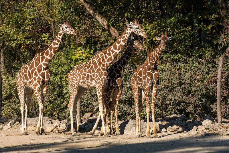 De giraf, Giraffa-camelopardalis is een Afrikaans zoogdier royalty-vrije stock afbeelding