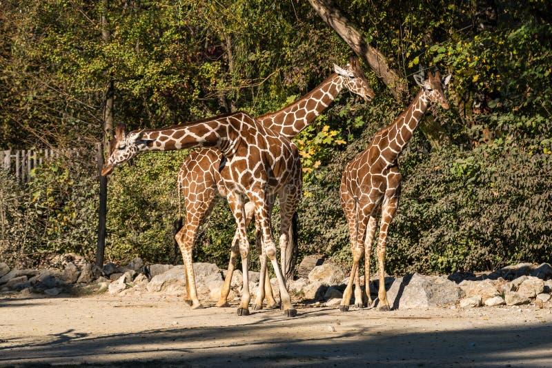 De giraf, Giraffa-camelopardalis is een Afrikaans zoogdier stock fotografie