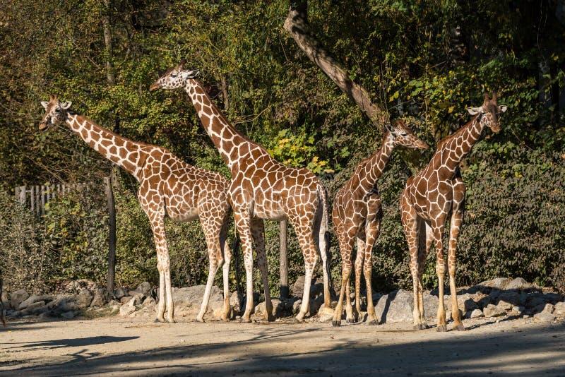 De giraf, Giraffa-camelopardalis is een Afrikaans zoogdier royalty-vrije stock foto