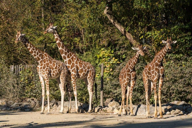 De giraf, Giraffa-camelopardalis is een Afrikaans zoogdier royalty-vrije stock foto's