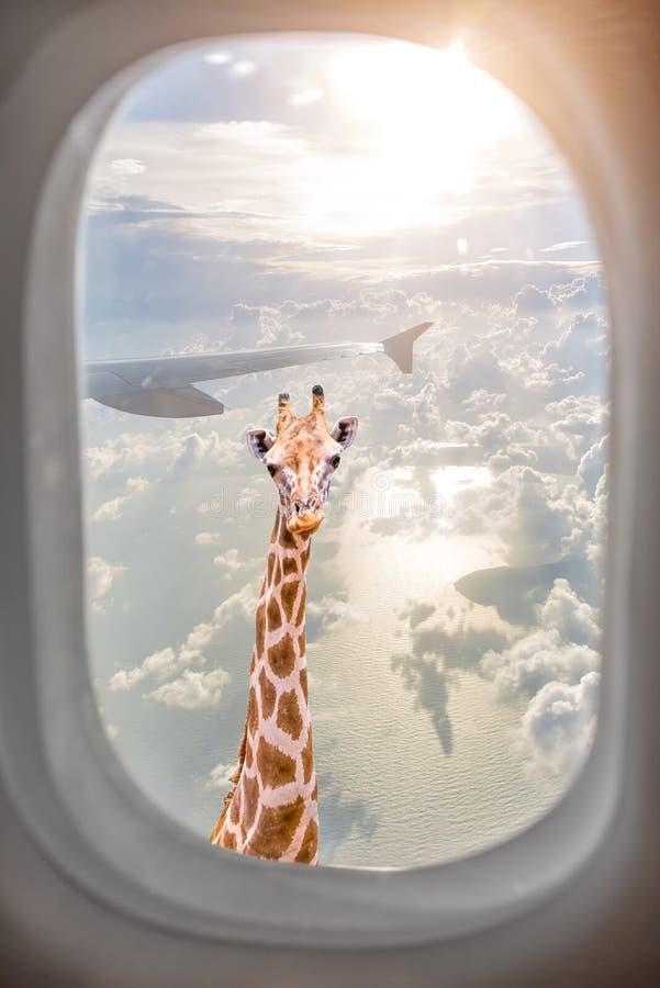 De giraf kijkt door vliegtuigvenster stock afbeelding