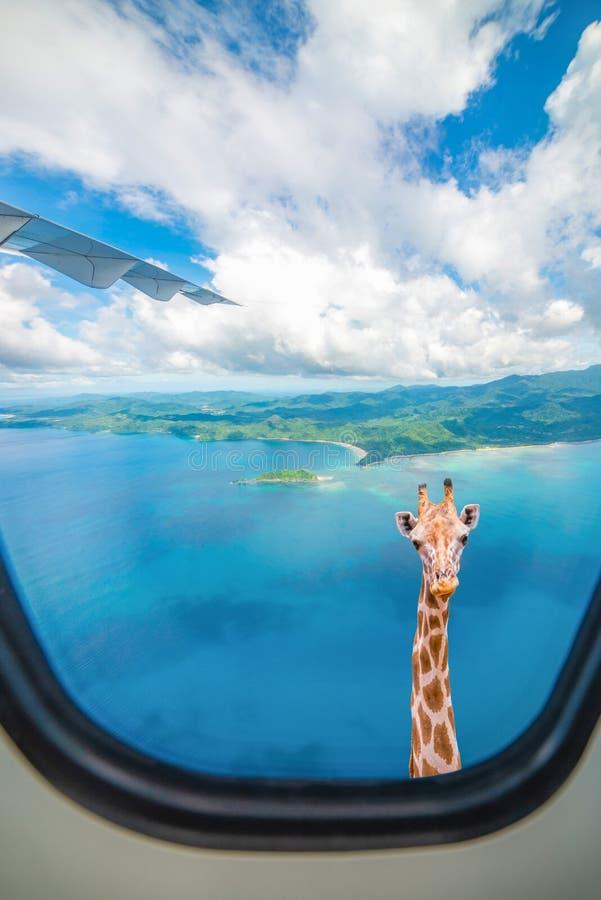 De giraf kijkt door vliegtuigvenster royalty-vrije stock afbeelding