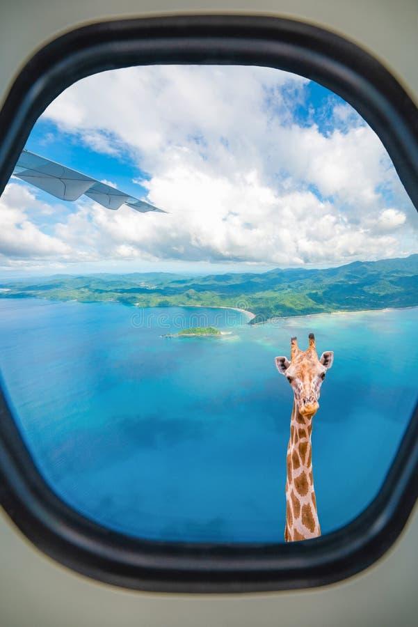 De giraf kijkt door vliegtuigvenster stock foto's