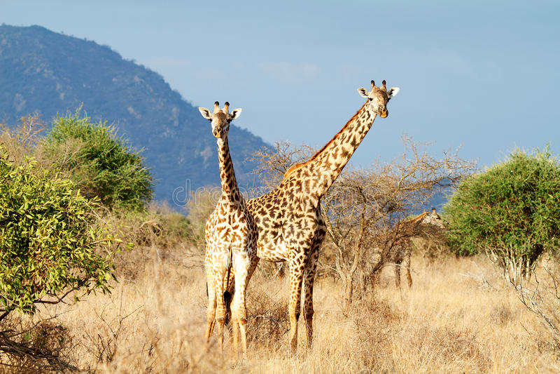 De giraf Masai royalty-vrije stock fotografie