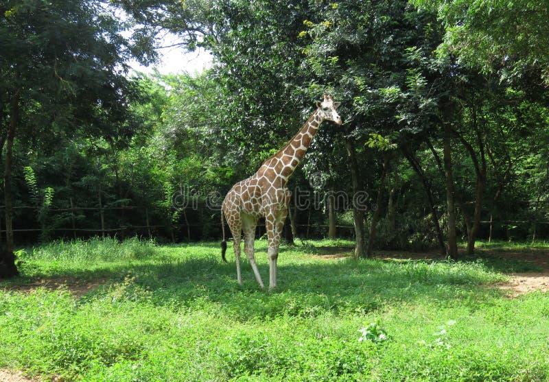 De giraf met een netvormig patroon stock afbeelding