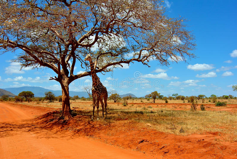 De Giraf van de safari stock foto