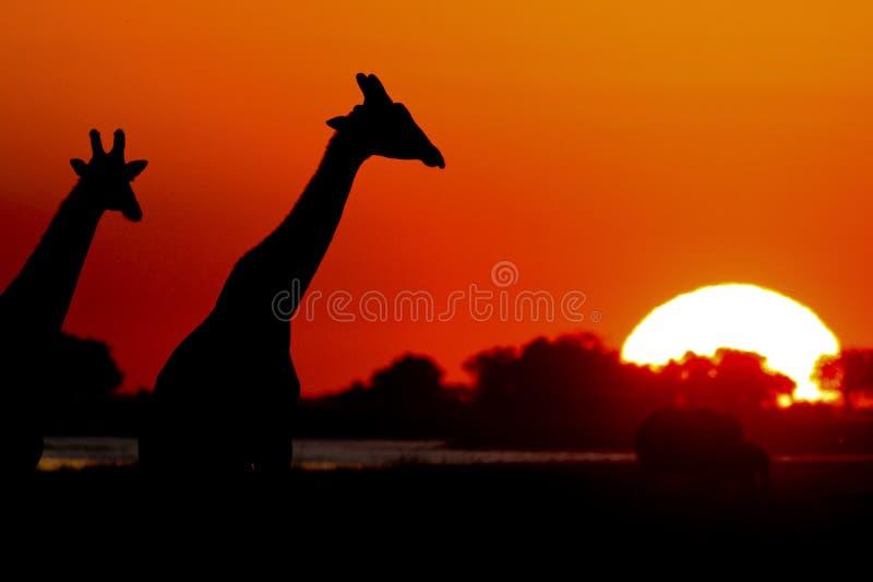 De Giraf van de zonsondergang stock afbeelding