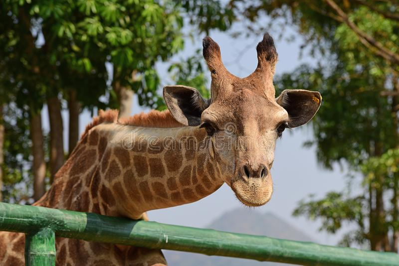 De giraf van het kindvoer met hand royalty-vrije stock foto's