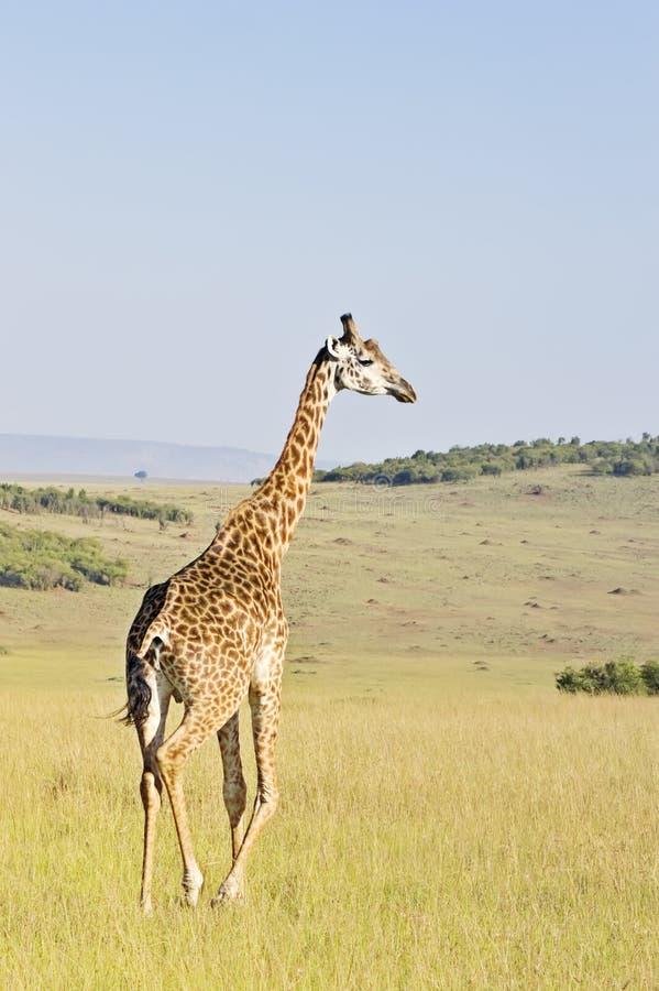 De giraf van Masai royalty-vrije stock afbeelding