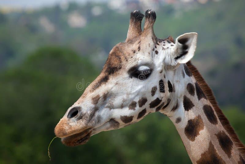 De giraf van Rothschild (Giraffa-camelopardalisrothschildi) stock foto