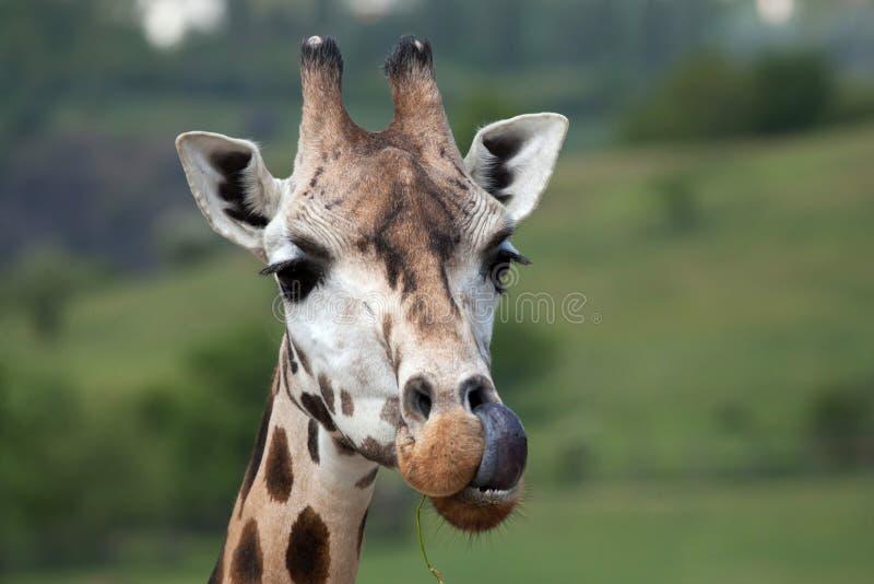 De giraf van Rothschild (Giraffa-camelopardalisrothschildi) stock foto's
