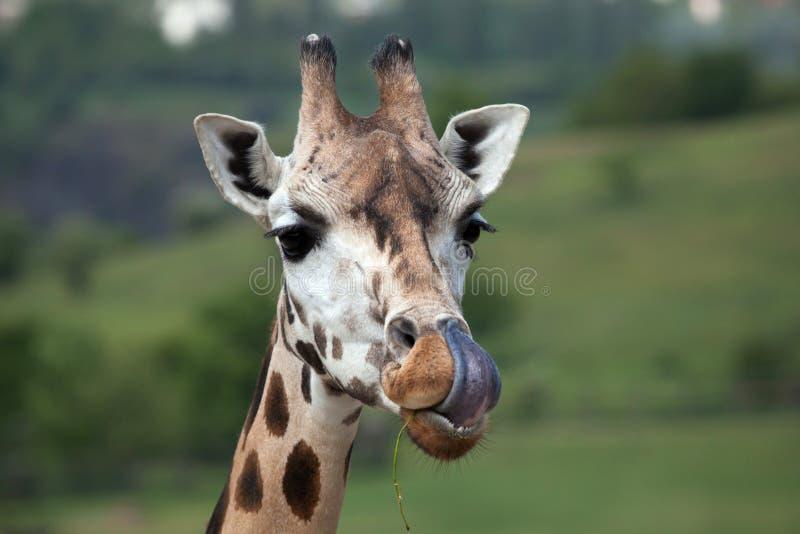 De giraf van Rothschild (Giraffa-camelopardalisrothschildi) stock fotografie