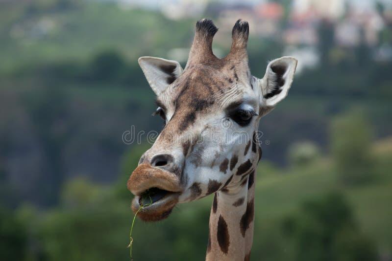 De giraf van Rothschild (Giraffa-camelopardalisrothschildi) royalty-vrije stock afbeelding
