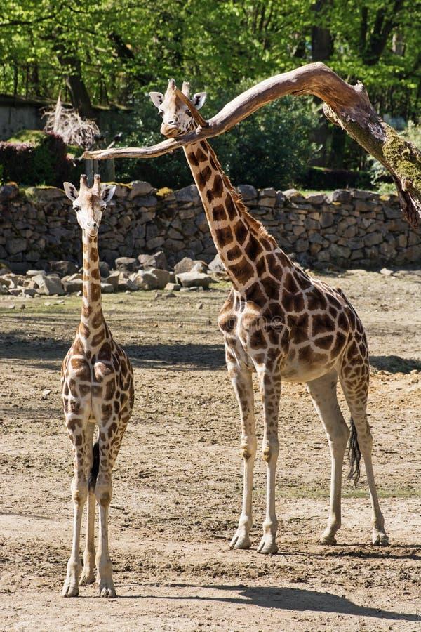 De giraf van Rothschild (Giraffa-camelopardalisrothschildi) met c stock foto's