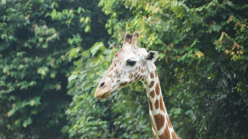 De giraffe de tête fin vers le haut image stock